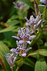 Toad Lily (Tricyrtis hirta) at Glasshouse Nursery