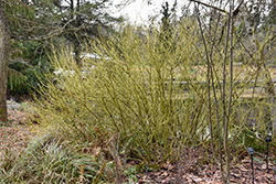 Flaviramea Dogwood (Cornus sericea 'Flaviramea') at Glasshouse Nursery