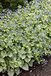 Jack Frost Bugloss (Brunnera macrophylla 'Jack Frost') at Glasshouse Nursery