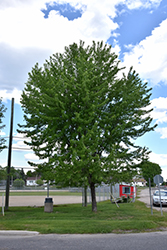 Silver Maple (Acer saccharinum) at Glasshouse Nursery