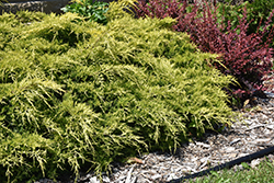 Gold Lace Juniper (Juniperus x media 'Gold Lace') at Glasshouse Nursery