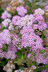 Little Princess Spirea (Spiraea japonica 'Little Princess') at Glasshouse Nursery