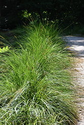 Autumn Moor Grass (Sesleria autumnalis) at Glasshouse Nursery