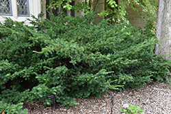 Ward's Yew (Taxus x media 'Wardii') at Glasshouse Nursery