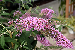Pink Delight Butterfly Bush (Buddleia davidii 'Pink Delight') at Glasshouse Nursery