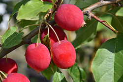 Dolgo Apple (Malus 'Dolgo') at Glasshouse Nursery