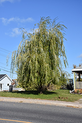 Prairie Cascade Weeping Willow (Salix 'Prairie Cascade') at Glasshouse Nursery