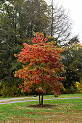Sassafras (Sassafras albidum) at Glasshouse Nursery