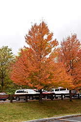 Karpick Red Maple (Acer rubrum 'Karpick') at Glasshouse Nursery