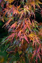 Cutleaf Japanese Maple (Acer palmatum 'Dissectum') at Glasshouse Nursery