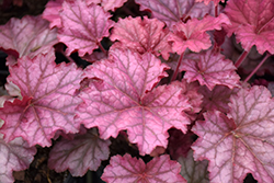 Berry Smoothie Coral Bells (Heuchera 'Berry Smoothie') at Glasshouse Nursery