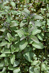 Water Mint (Mentha aquatica) at Glasshouse Nursery