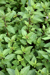 Chocolate Mint (Mentha x piperita 'Chocolate') at Glasshouse Nursery