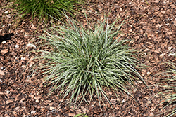 EverColor® Everest Japanese Sedge (Carex oshimensis 'Carfit01') at Glasshouse Nursery